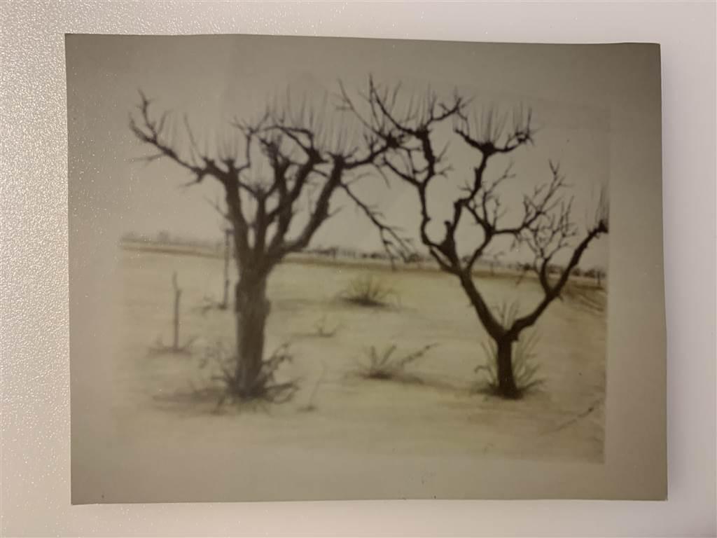 alberi-di-prugne-in-gennaio-1987_res